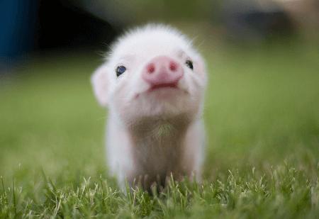 tiny business pig